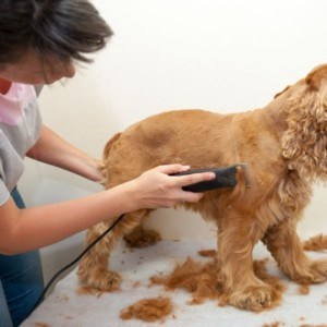 Dog Grooming - Women shaving dog